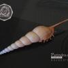 เปลือกหอยเจดีย์ Spindle Tibia (Tibia fusus) ขนาด 6 นิ้ว