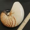 เปลือกหอยงวงช้าง นอติลุส Nautilus pompilus ขนาด 7 นิ้ว #004